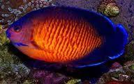 c bispinosus